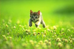 Kitten running through the grass