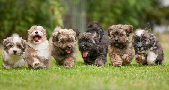 Six puppies running in Menomonee Falls