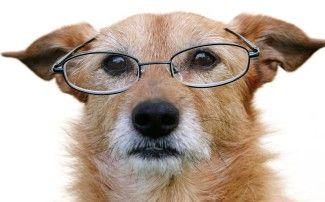 picture of a senior dog with glasses
